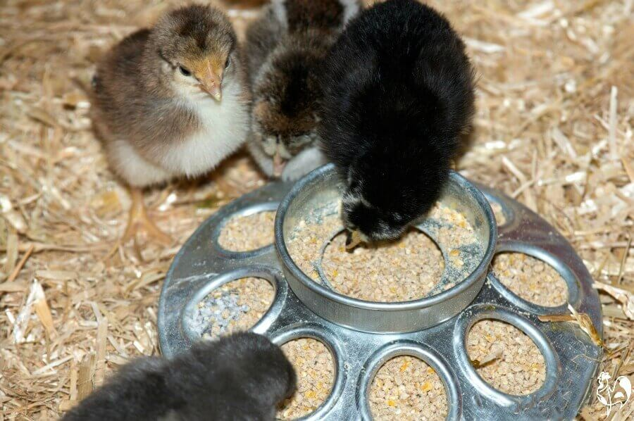 Chicks feed from a mason jar feeder - without the mason jar! Find out which feeders are best for baby chicks, and which feed they should be given.