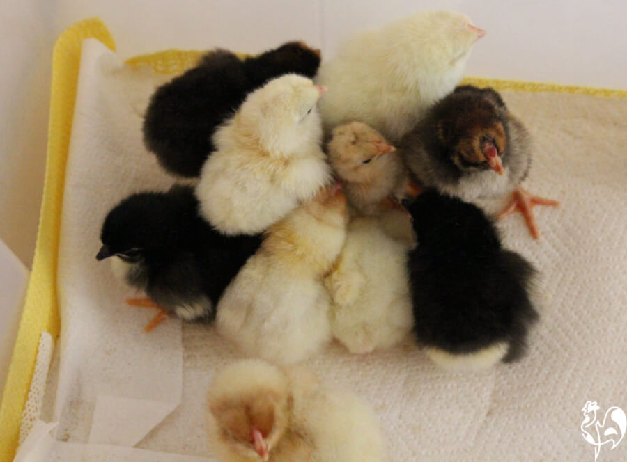 Chicks tend to huddle together in the first few hours in the brooder.