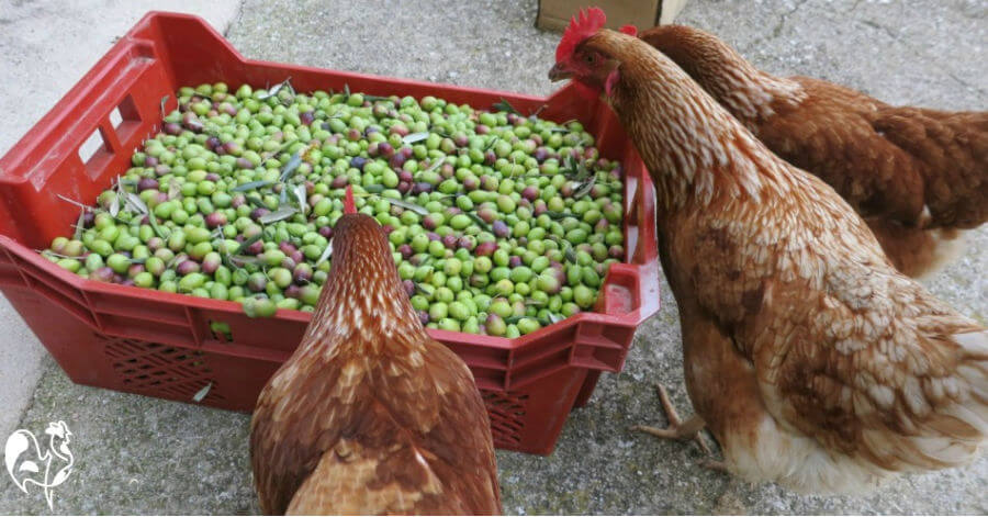 My chickens help with harvesting olives.