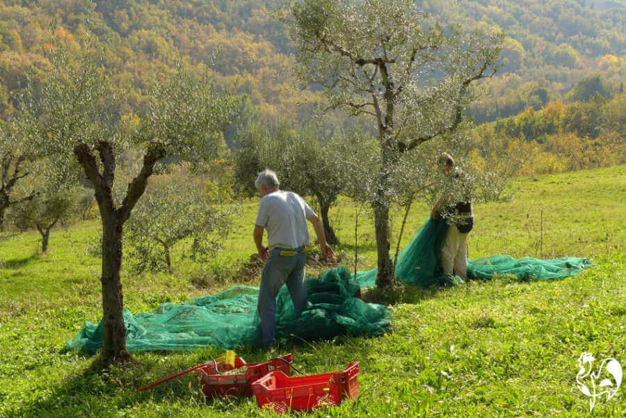 Bringing in the olives.