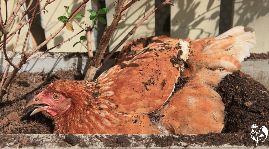 A panting Red star chicken.