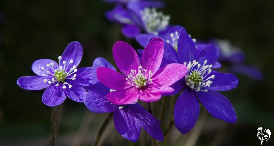 Pretty pink and purple Pennyworth flowers.