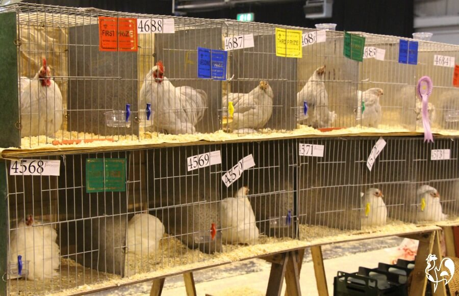 Birds on display at the UK's National Poultry Show.