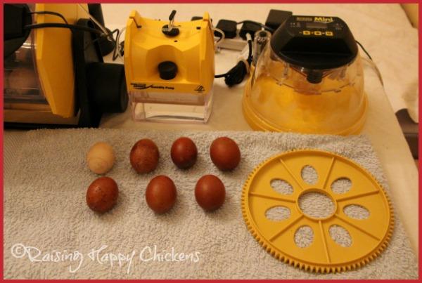 Preparing eggs for lockdown of the incubator