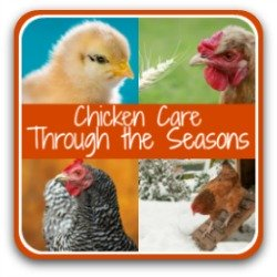 Raising chickens - month by month tasks - link.