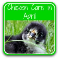 Chicken care in April - link.