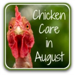 Raising chickens in August: 20 tips for a healthy flock. Link.