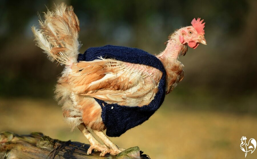 An ex-battery hen has so few feathers she may need help keeping warm.