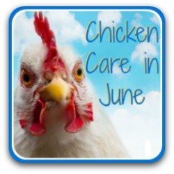Chicken care in June - link.