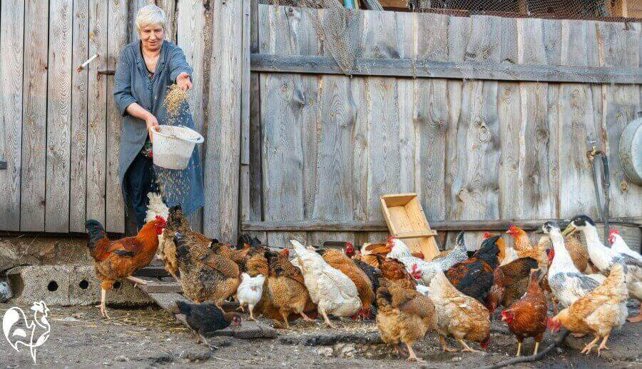 Feeding chickens in the run.