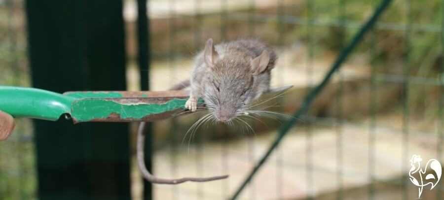 A common brown rat I found in my feed bin.