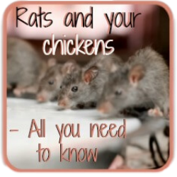Rats in the chicken coop - link.