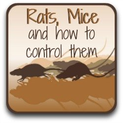 Clickable link to getting rid of rats and mice from your chicken coop.