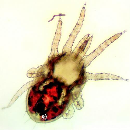 A chicken red mite