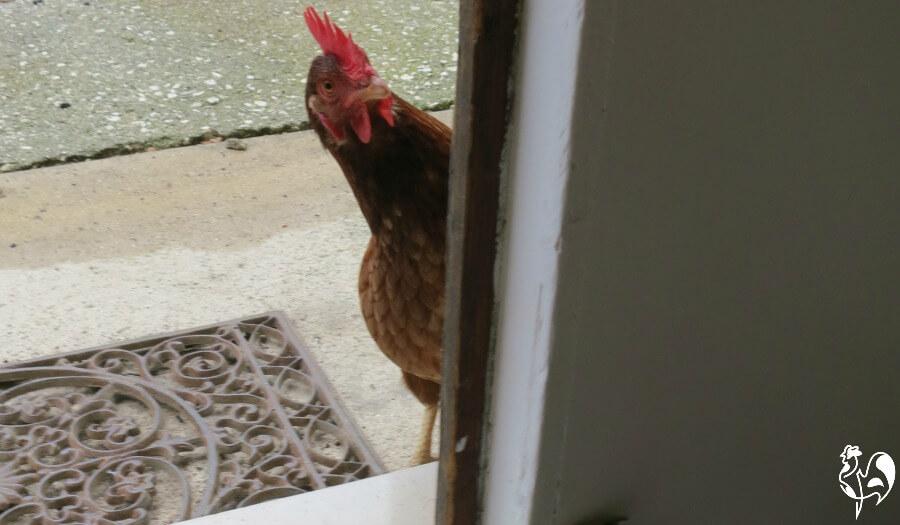 Red Star chicken by door.