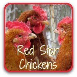 Red star chickens - a breed profile.