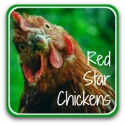 Red Star chickens - link.