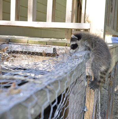 A baby raccoon unlatches a chicken coop.  Could a raccoon be responsible for killing Jaiden's chickens?