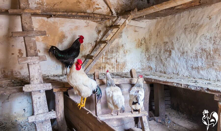 Chickens on different heights of roost.