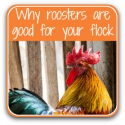 Why roosters are good for your backyard flock - click to find out!