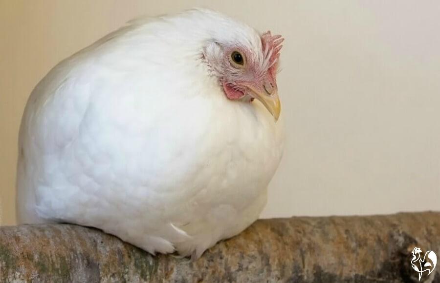 Roosting hen