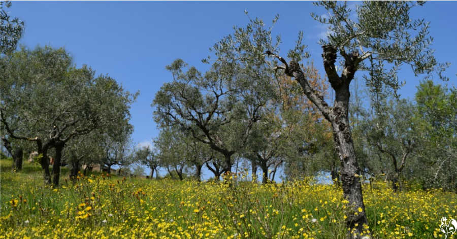Olive grove in Italy.