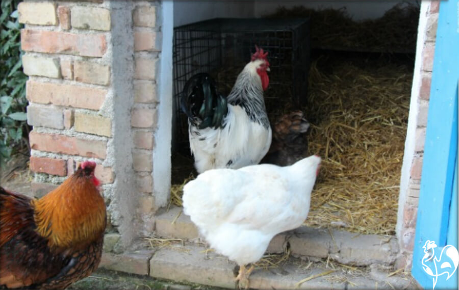 Keeping an injured chicken near the flock allows for visiting the sick!