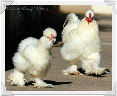 Not Silkies, but hybrid chickens