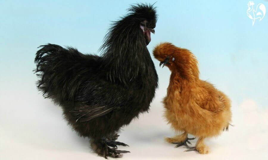 Silkie chicken pair