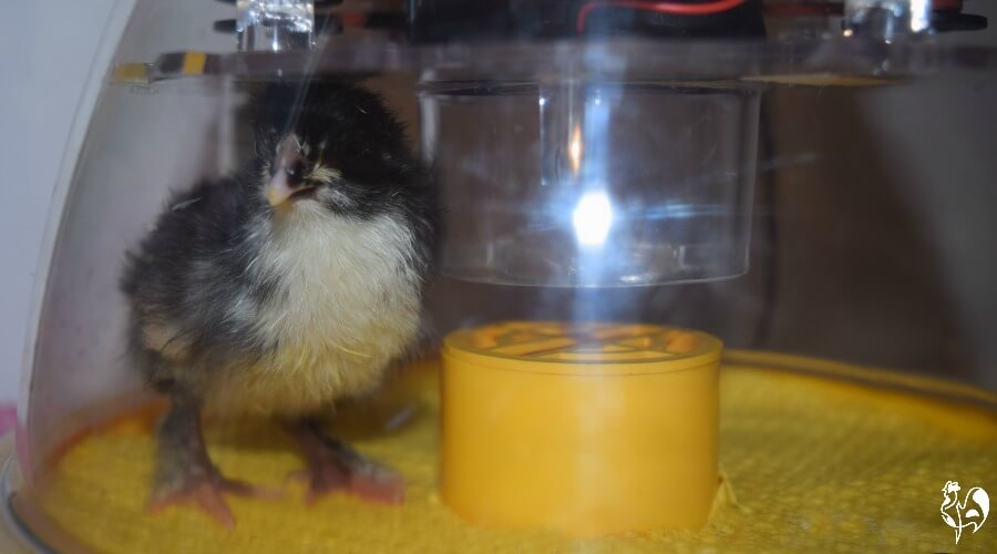 Brinsea's small incubator allows a clear view of what's going on during incubation and hatching.