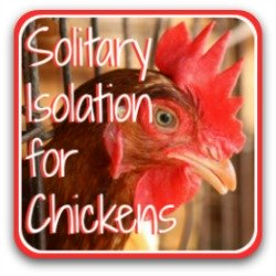 Solitary isolation for chickens - link.