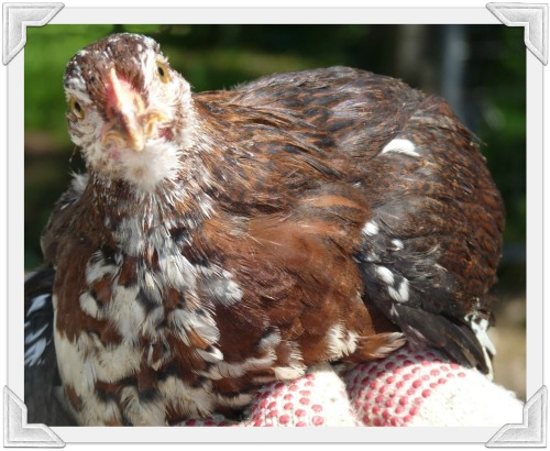 8 week old curious Speckled Sussex chicken