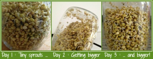How to sprout lentil seeds days 1 to 3
