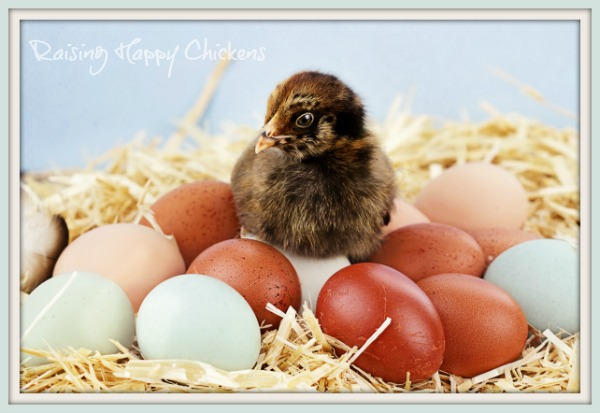Backyard chickens' eggs - colourful and healthy.