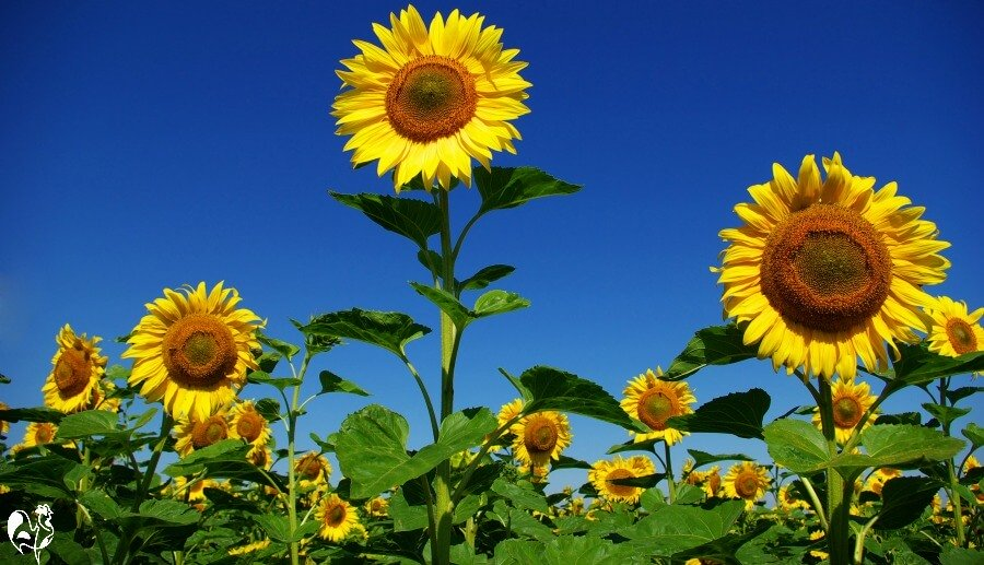 A sunflower field in full bloom - there will soon be lots of seeds for your flock!