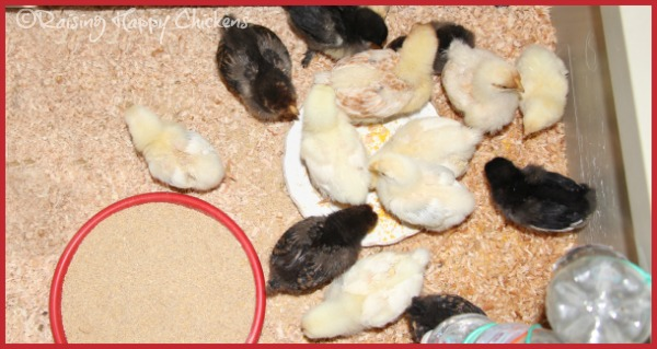Three week old chicks.