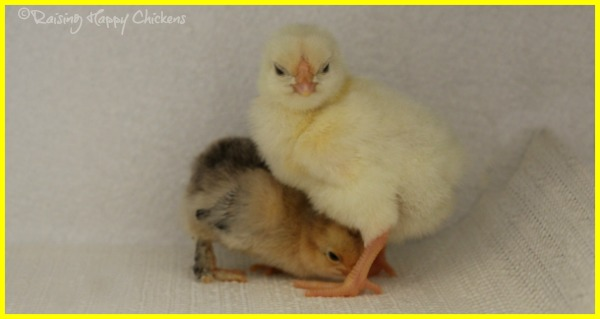 Two day old chicks.