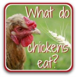 What do chickens eat? Covering food, treats, and how to keep chickens cool in summer and warm in winter.