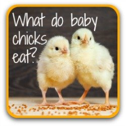 What do baby chicks eat? Link.