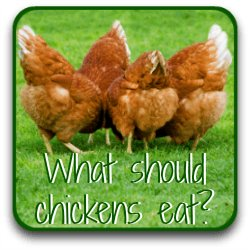 What should chickens eat at different stages of their life? Find out by clicking here.