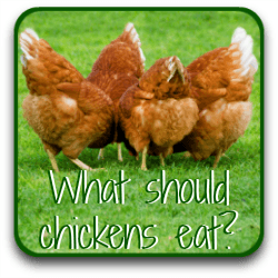 What chickens should eat by age.
