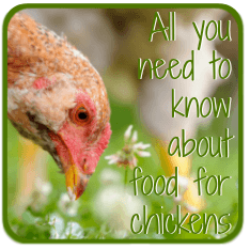 Everything you need to know about what chickens eat - click here!