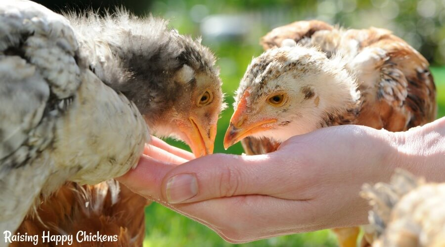 Pullets look like baby dinosaurs - but what exactly should they be eating to keep them healthy and happy? Find out here.