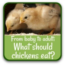 From hatch to adult - what should chickens eat? Link.