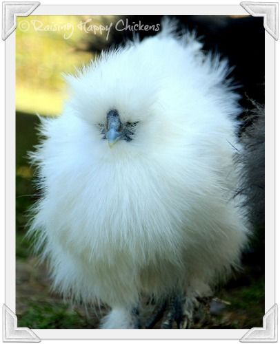 Silkie chicken fluff ball!