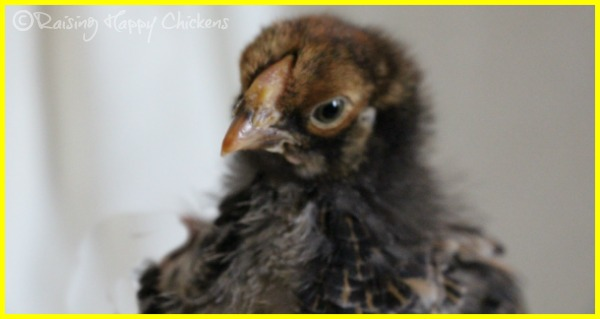 A Golden Laced Wyandotte chick