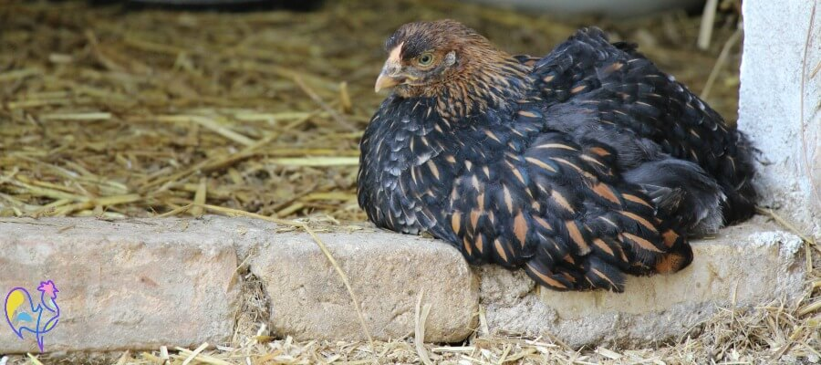 Golden Laced Wyandotte hen on fence.