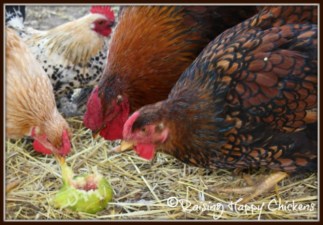 My hens enjoy eating figs fresh from the tree.